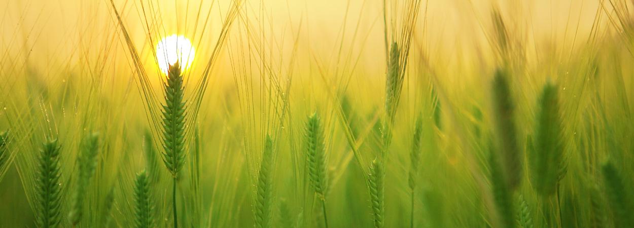 Barley field at sunrise